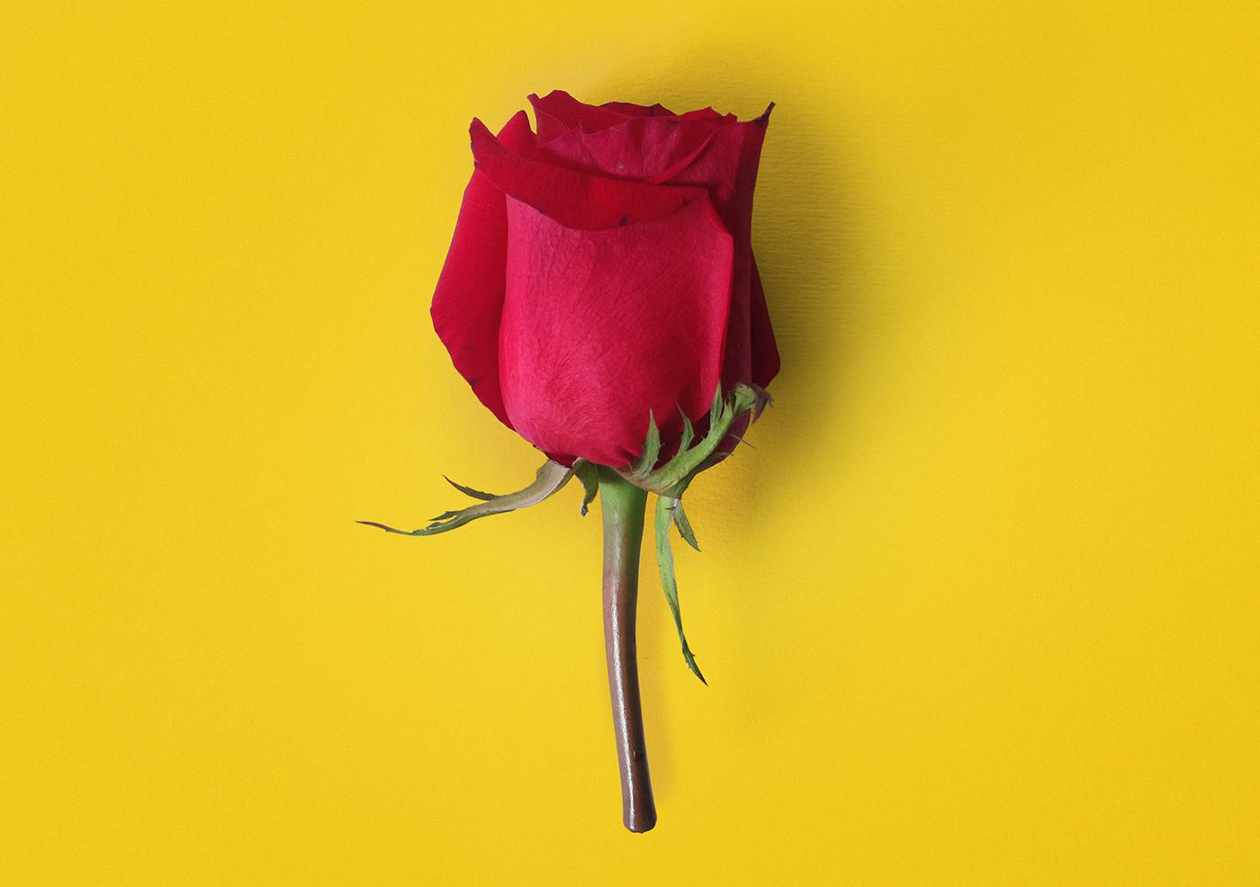 redrose